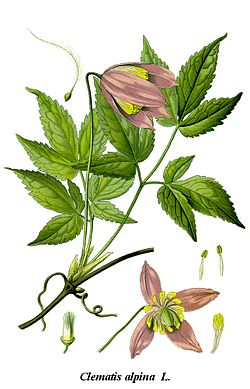 Cleaned-Illustration Clematis alpina.jpg
