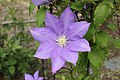 Clematis 'H. F. Young' in NH.JPG