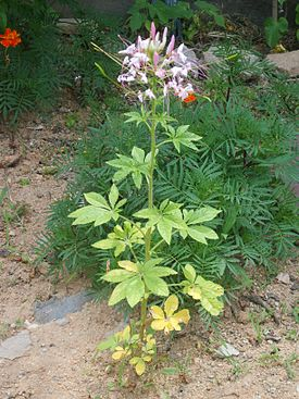 Cleome spinosa 01.JPG