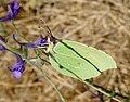 Cleopatra. Gonepteryx cleopatra - Flickr - gailhampshire.jpg