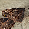 Cliff Swallow Baby (4868469463).jpg