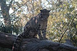 Clouded Leopard b d.jpg