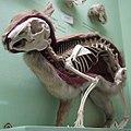 Cmglee Horniman rabbit skin skeleton.jpg