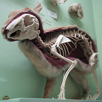 Rabbit - Skeleton of the rabbit