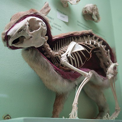 Skeleton of the rabbit Cmglee Horniman rabbit skin skeleton.jpg