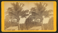 Coconuts at Jupiter, from Robert N. Dennis collection of stereoscopic views.png