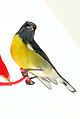 Coereba flaveola b2.jpg