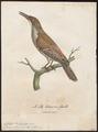 Colaptes olivaceus - 1796-1808 - Print - Iconographia Zoologica - Special Collections University of Amsterdam - UBA01 IZ18700237.tif