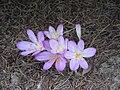 Colchicum cilicicum clump.jpg