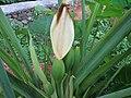 Colocasia - ചേമ്പ് 001.jpg