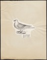 Columba domestica var. turbita - 1809-1845 - Print - Iconographia Zoologica - Special Collections University of Amsterdam - UBA01 IZ18900173.tif