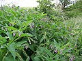 Common Comfrey (Symphytum officinalis), Bishopstone - geograph.org.uk - 1360418.jpg