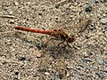 Common Darter on Spurn Point - geograph.org.uk - 470596.jpg