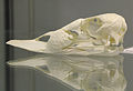 Common Eider (Somateria mollissima) skull at the Royal Veterinary College anatomy museum.JPG