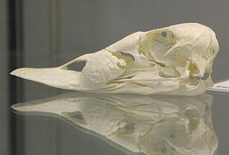 Common eider - A common eider skull