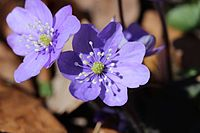 Common Hepatica - Anemone hepatica (13214136064).jpg