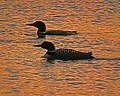 Common Loons (15682455419).jpg