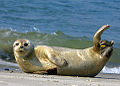 Common Seal Phoca vitulina 1.jpg