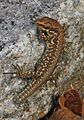 Common Wall Lizard - Podarcis muralis, Saanichton, British Columbia - 01.jpg