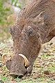 Common Warthog (Phacochoerus africanus) grazing (33241356855).jpg