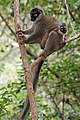 Common brown lemur (Eulemur fulvus) female with juvenile 2.jpg