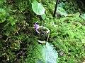 Conandron ramondioides1.jpg