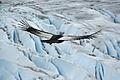 Condor des Andes mâle adulte.jpg