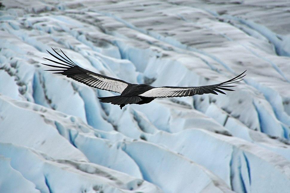 Condor des Andes mâle adulte