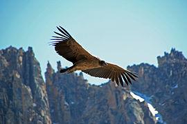 """Résultat de recherche d'images pour """"condor des Andes"""""""