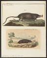 Condylura cristata - 1700-1880 - Print - Iconographia Zoologica - Special Collections University of Amsterdam - UBA01 IZ20900181.tif