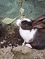 Conejo dutch.jpg