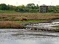 Conservation Grazing Highland Cattle on the Wetland Centre Grazing Marsh.jpg