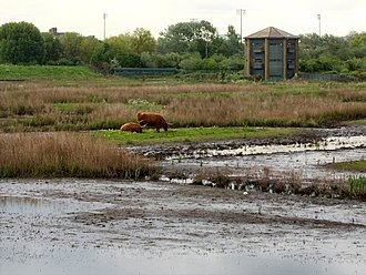 Conservation grazing - Highland Cattle on the Grazing Marsh at London Wetland Centre
