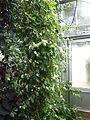 Conservatoire du bégonia 2015. Begonia molleri - 01.JPG