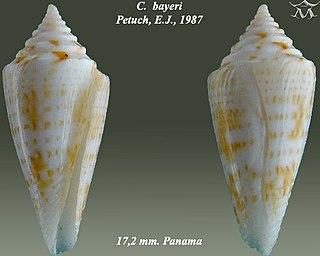 <i>Conus bayeri</i> Species of sea snail