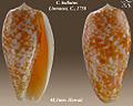 Conus bullatus 3.jpg