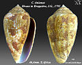Conus tinianus 3.jpg