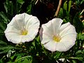 Convolvulus arvensis flores.jpg