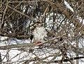 Cooper's hawk feeding on a blue jay 17.jpg