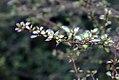 Coprosma pulchrum Beatsons Gold 0zz.jpg