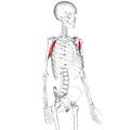 Coracobrachialis muscle02.png