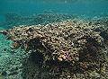 Corail mort Réunion.jpg
