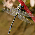 Cordulegaster boltonii male Wuestenrot 20080830 6.jpg