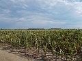 Corn field in July, 2017 Dabas.jpg
