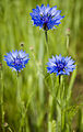 Cornflowers Centaurea cyanus.jpg