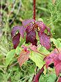 Cornus sericea 07817.jpg