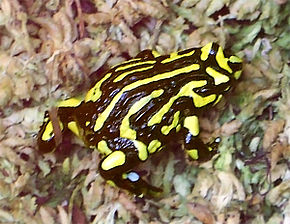 Description de l'image CorroboreeFrog.jpg.