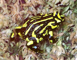 Corroboree frog Name for two species of amphibian