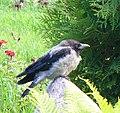 Corvus cornix (1).jpg