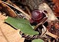 Corybas unguiculatus.jpg